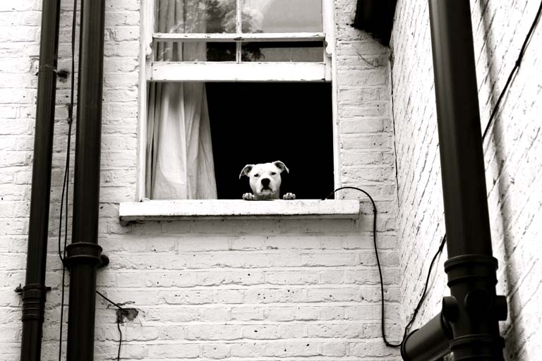 Dog on the Window