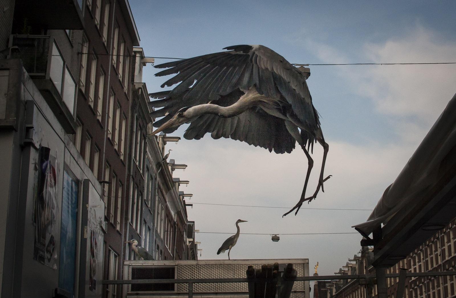 Herons Series